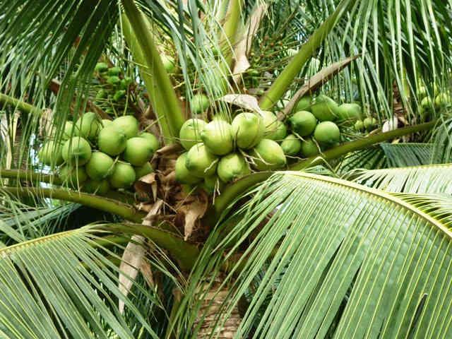 Hình ảnh cây dừa