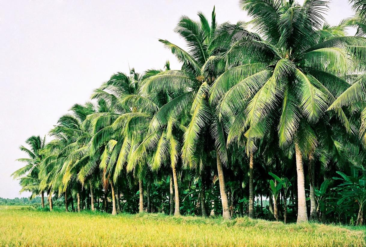 Dừa thường được trồng thành những vườn lớn