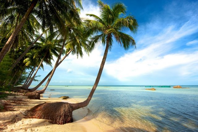 Dừa có thể mọc ở cả ven biển, nơi ngập mặn