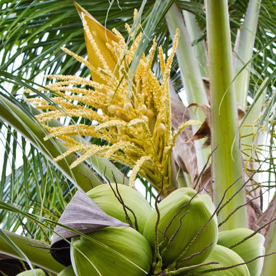 Hình ảnh hoa dừa