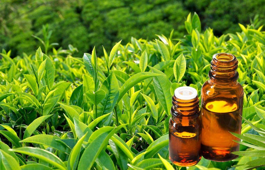 lợi ích tinh dầu trà xanh thumbnail