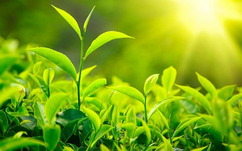 lợi ích của tinh dầu trà xanh 1