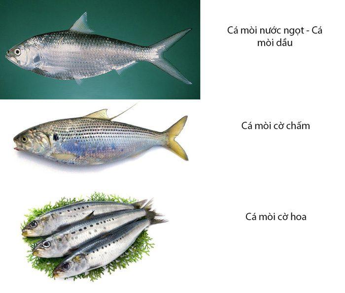 Phân loại cá mòi