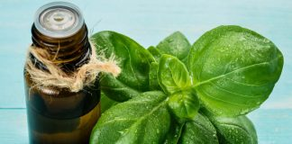 tinh dầu húng quế basil oil là gì